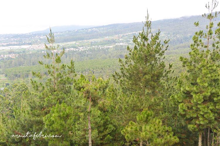 Gambar pohon pinus